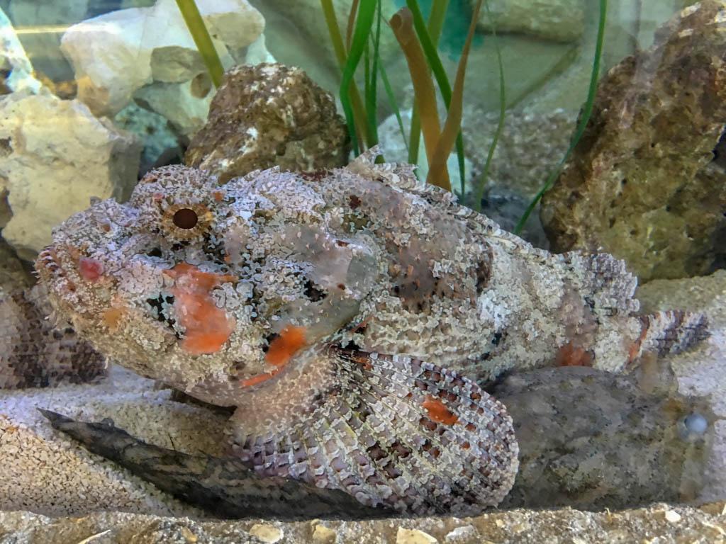 Spotted Scorpion Fish
