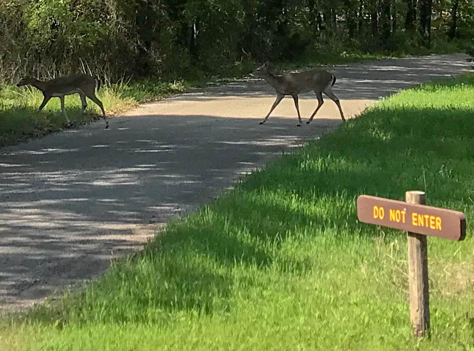 Deer Crossing Road At Camping Loop Exit