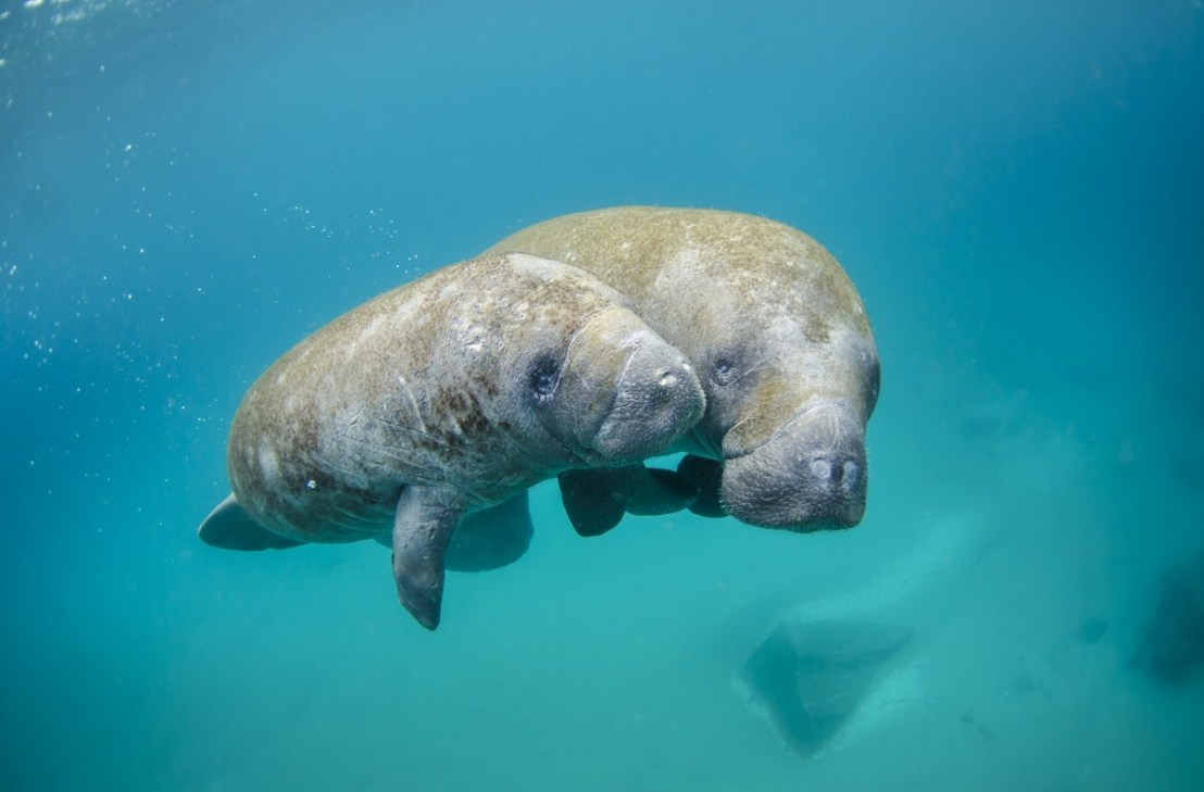 Mother Manatee And Calf Swimming Out Of An Inlet, Sam Farkas, NOAA Photo Library on flickr