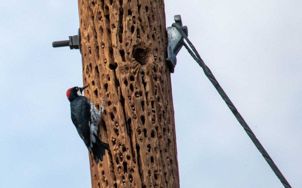 Woodpecker Pounding Away On Utility Pole