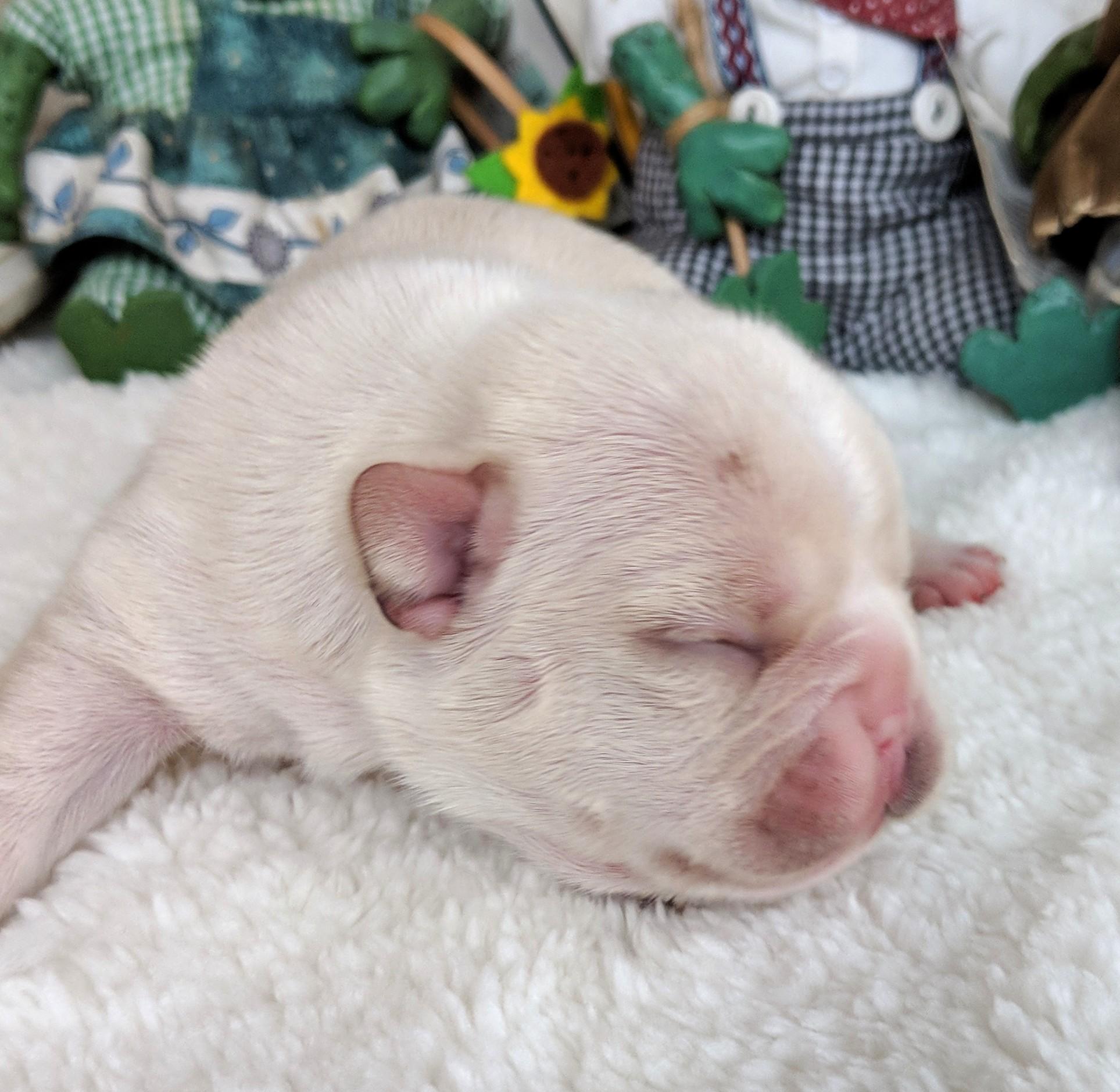 Cream Female French Bulldog