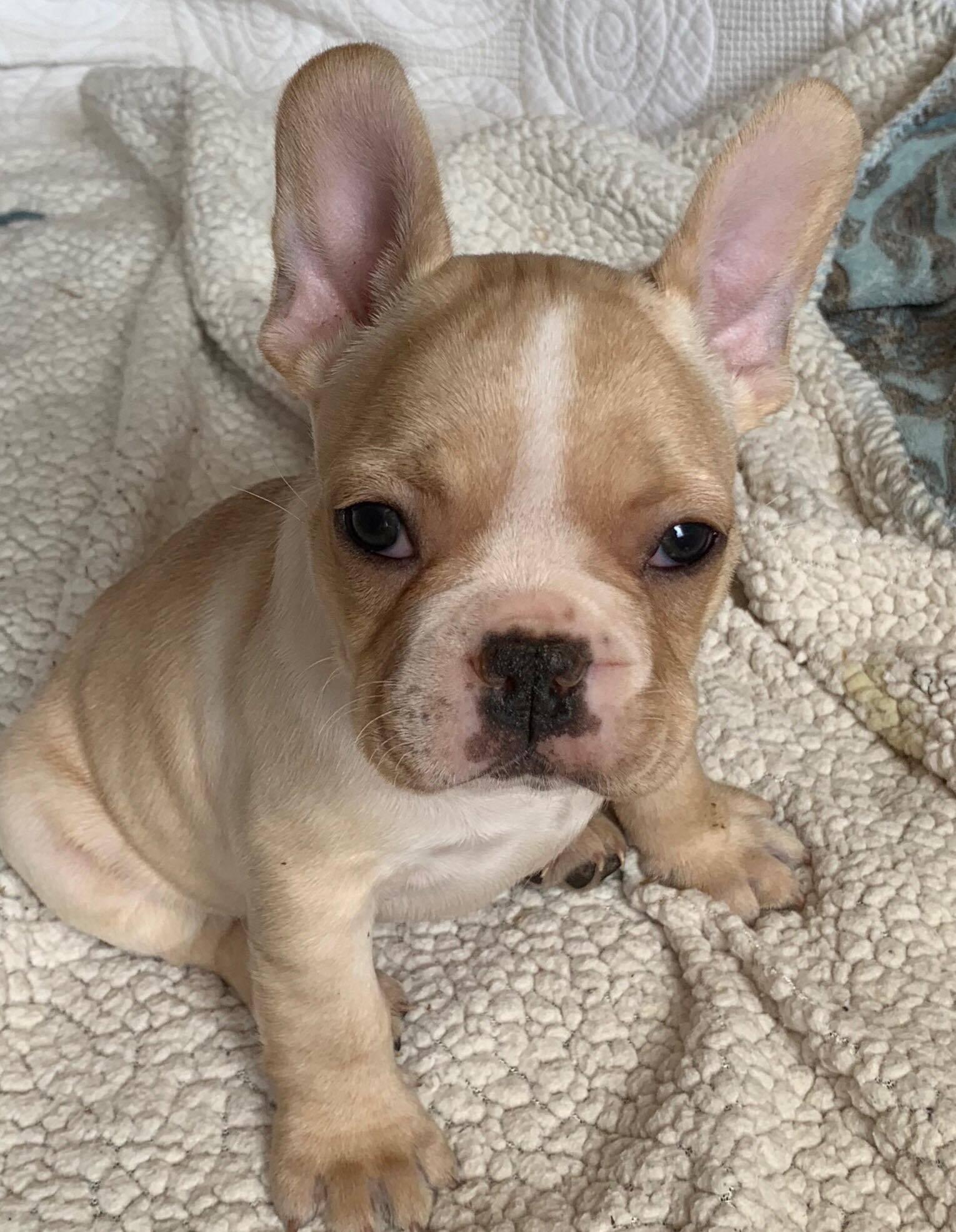 Felix Male Cream French Bulldog