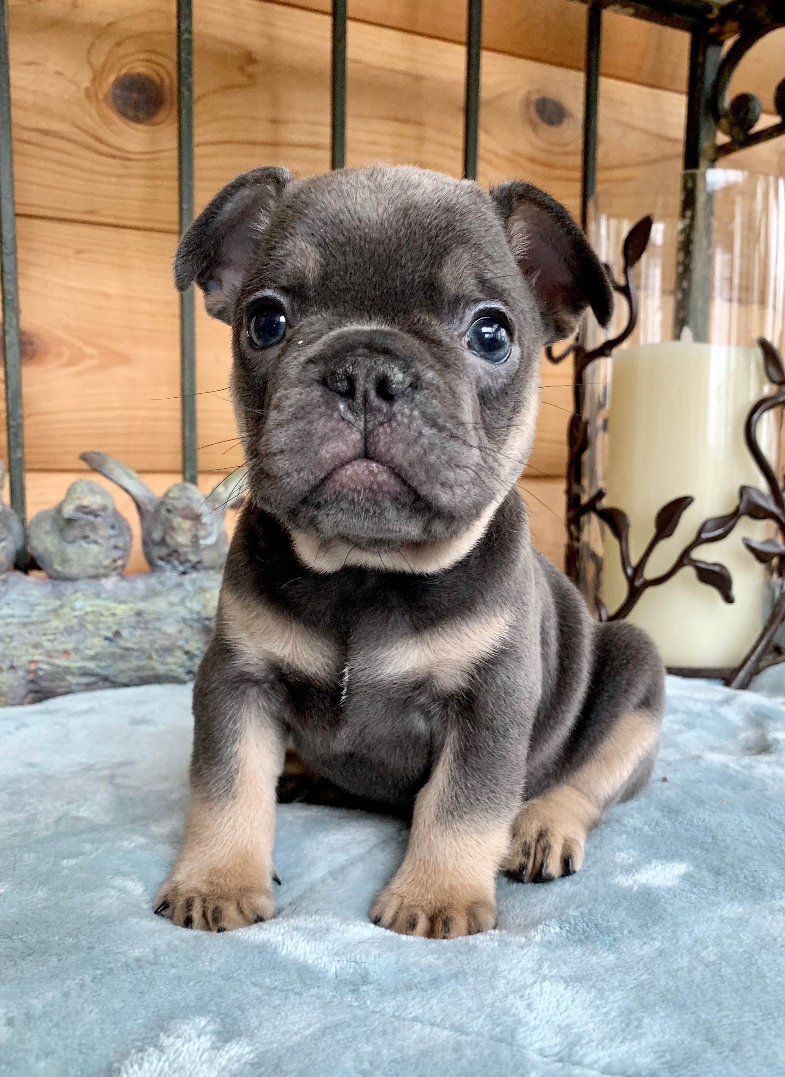 Harley Blue with Tan Points Male French Bulldog