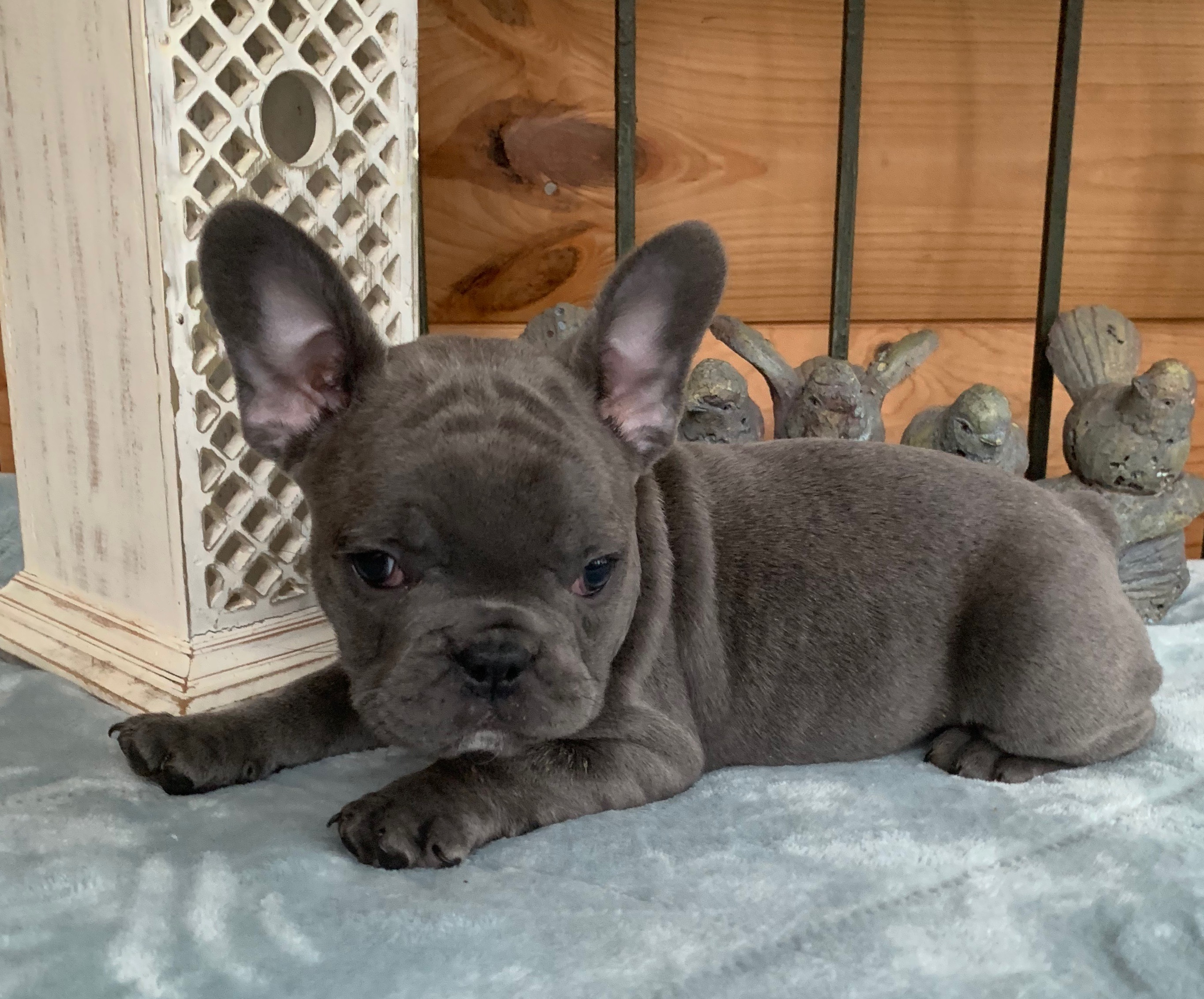 Ivan Blue Male French Bulldog