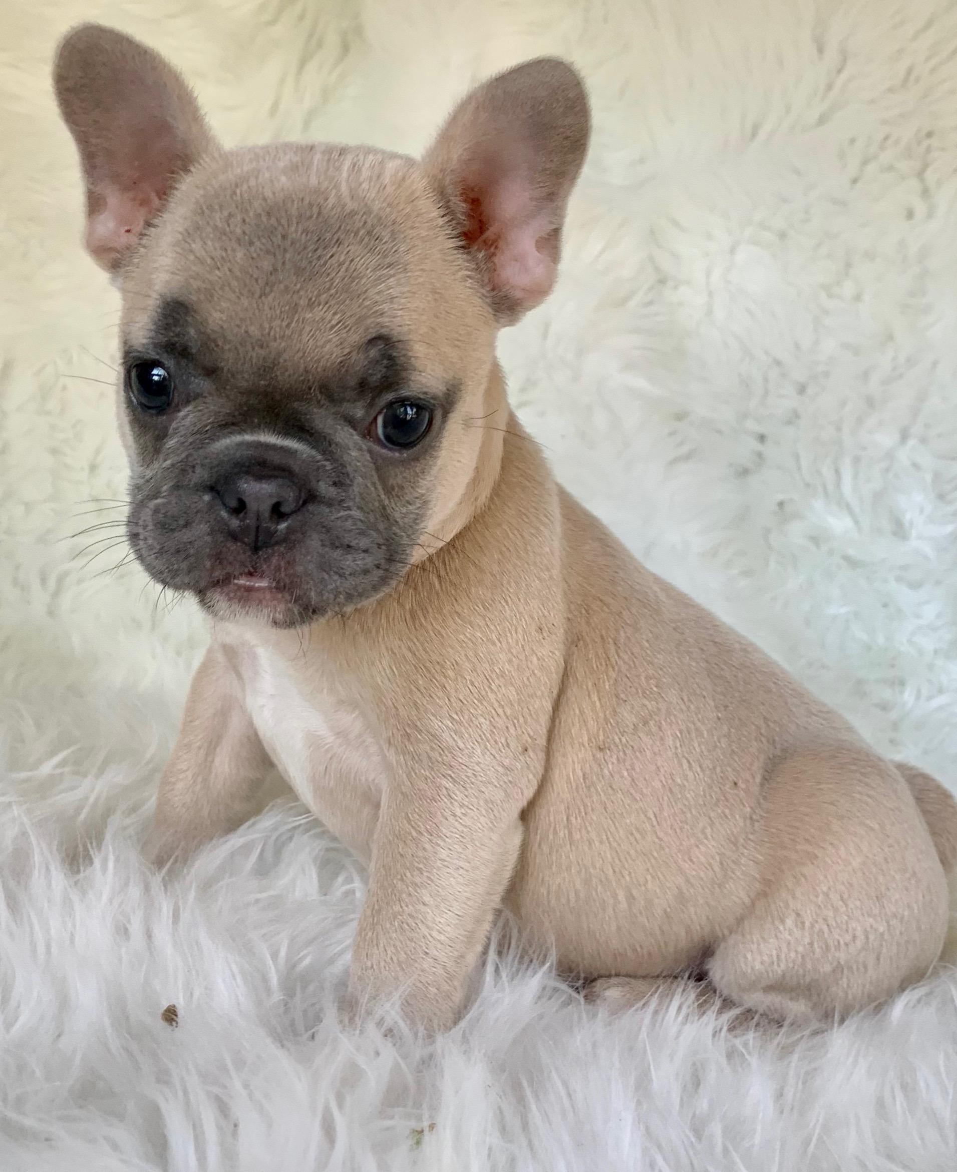 Nina Blue Fawn French Bulldog Female