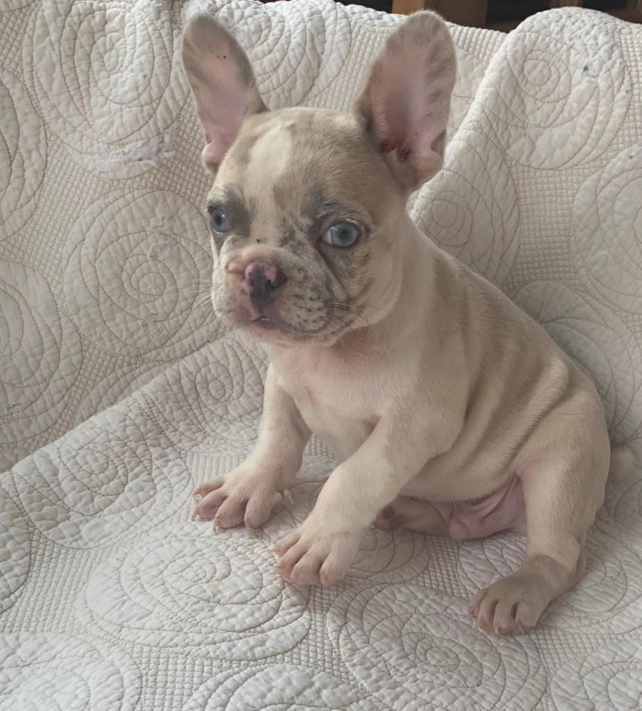 Oscar Lilac Merle French Bulldog Male