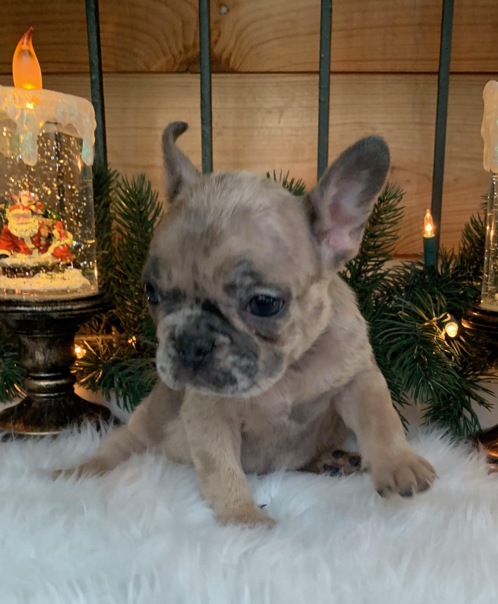 Female Blue Fawn Merle French Bulldog: Yuki
