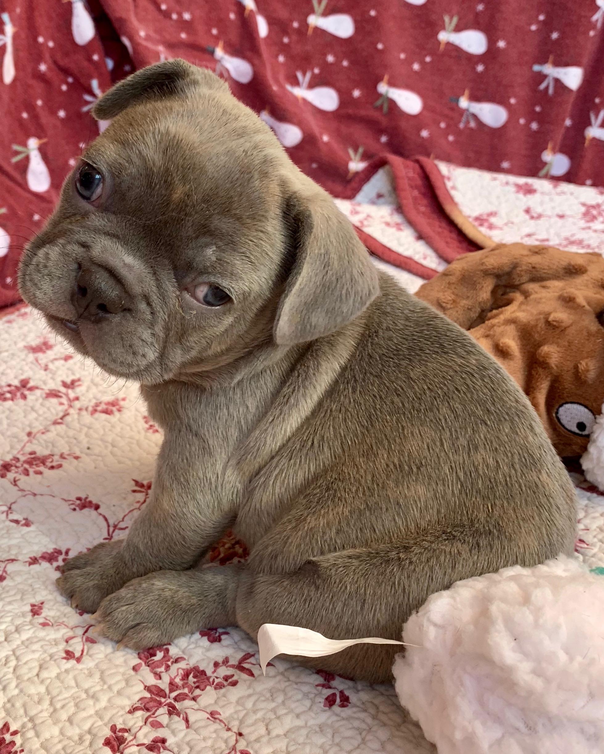 Male Lilac French Bulldog: Xander