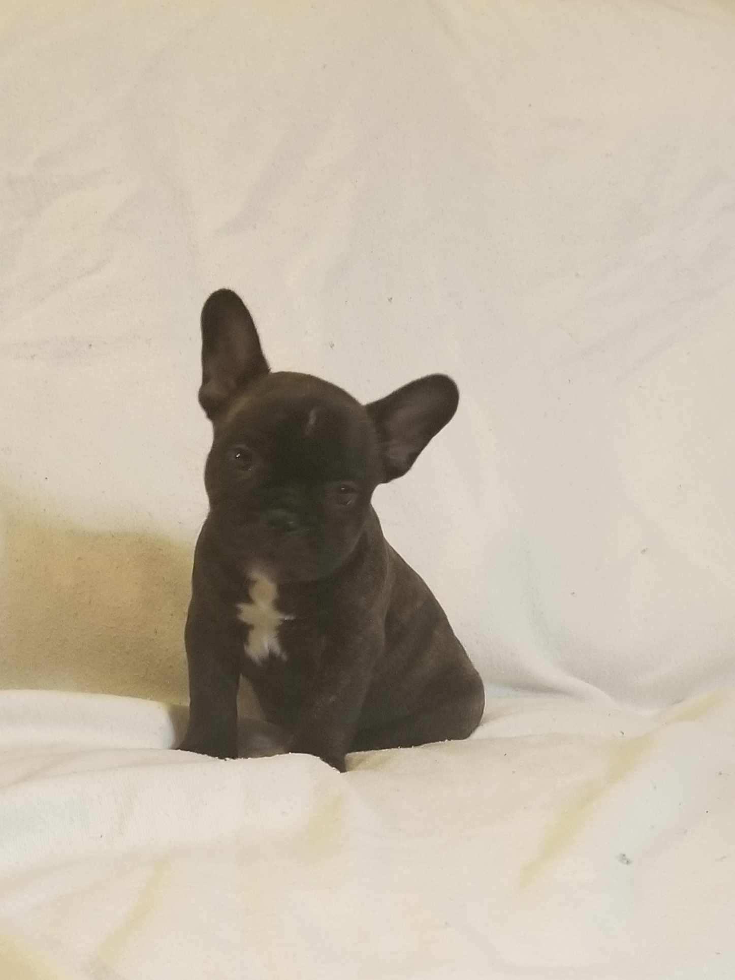 Brindle Male French Bulldog: Alpha