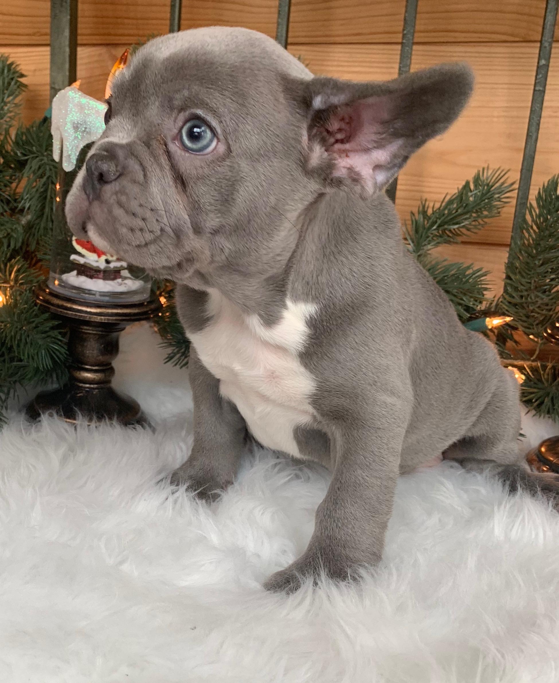 Quinn Lilac French Bulldog Female