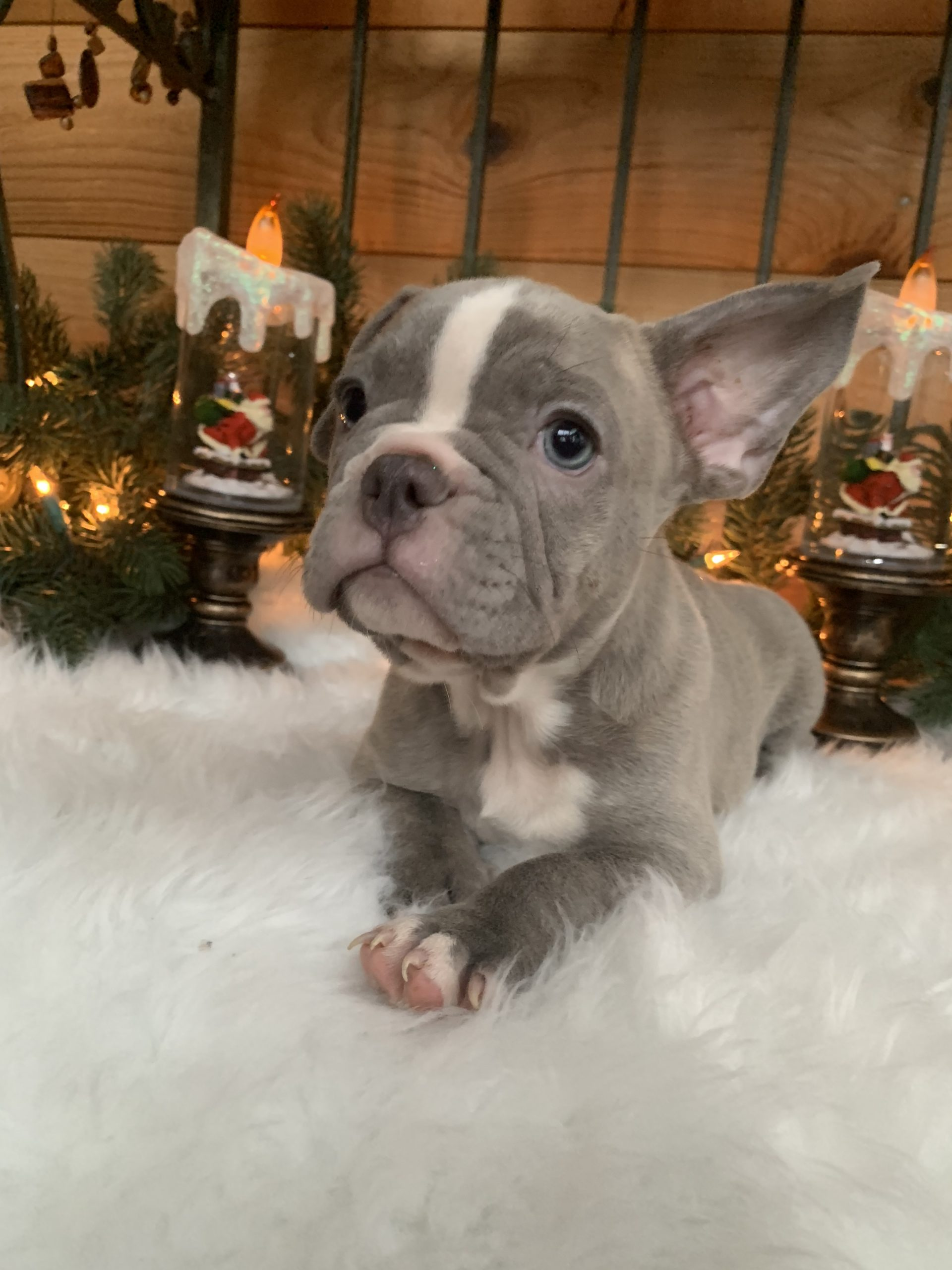 French Bulldog Lilac Male: Xavier