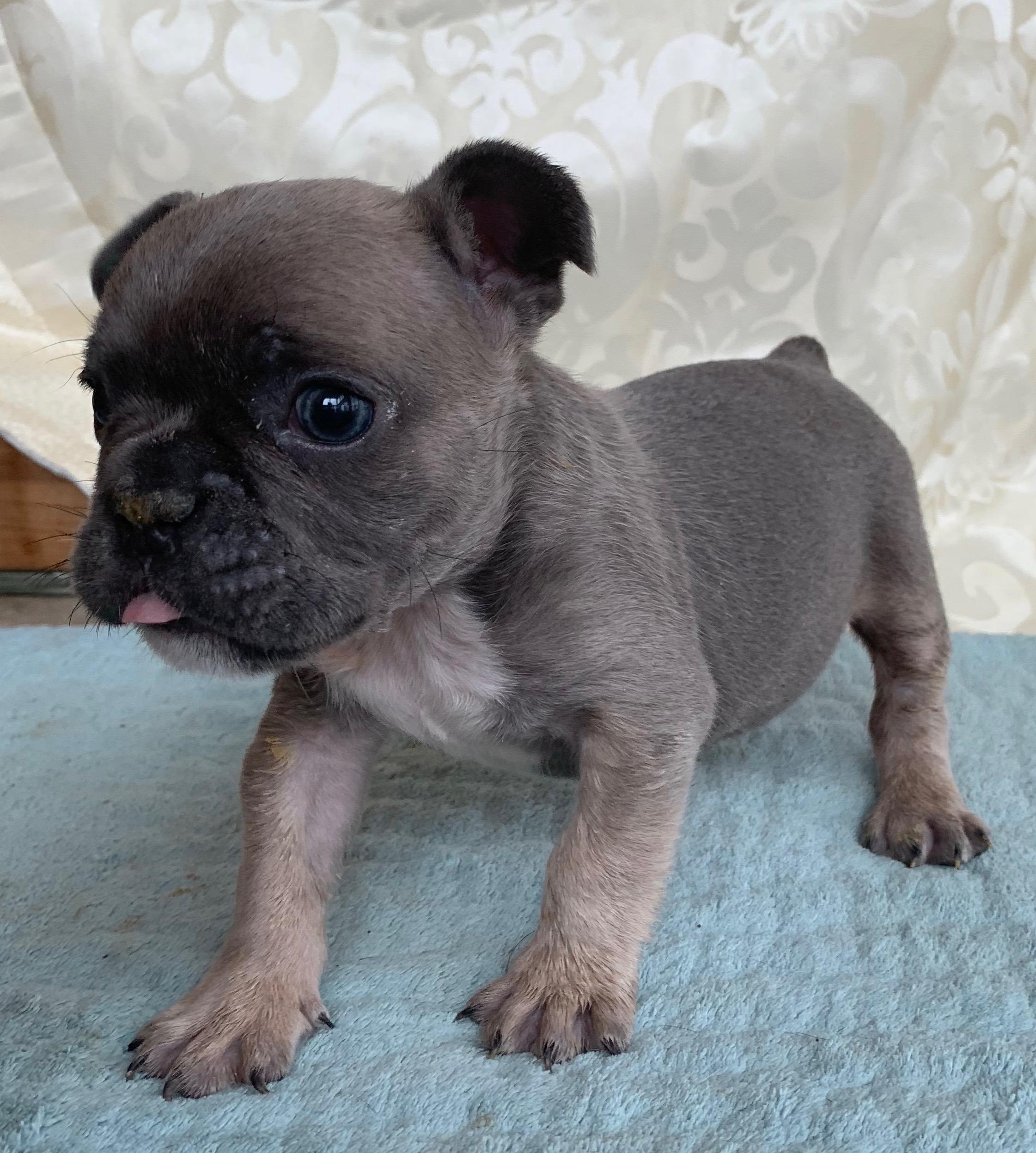 Male Blue Fawn French Bulldog: Casey