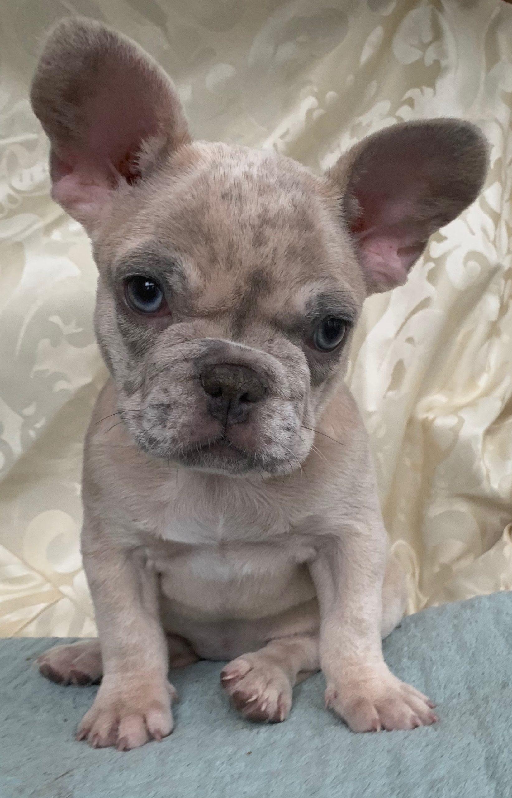 Lilac Merle French Bulldog Female: Zadie