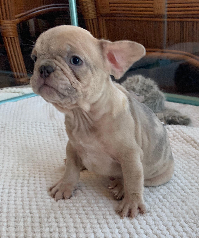 Lilac Merle Male French Bulldog: Gavin