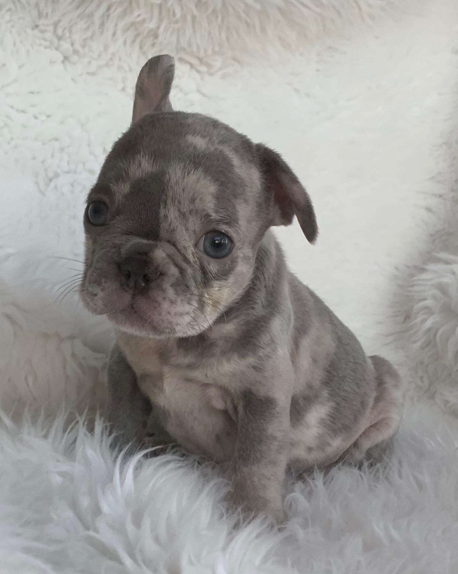 Blue Merle French Bulldog: Gus