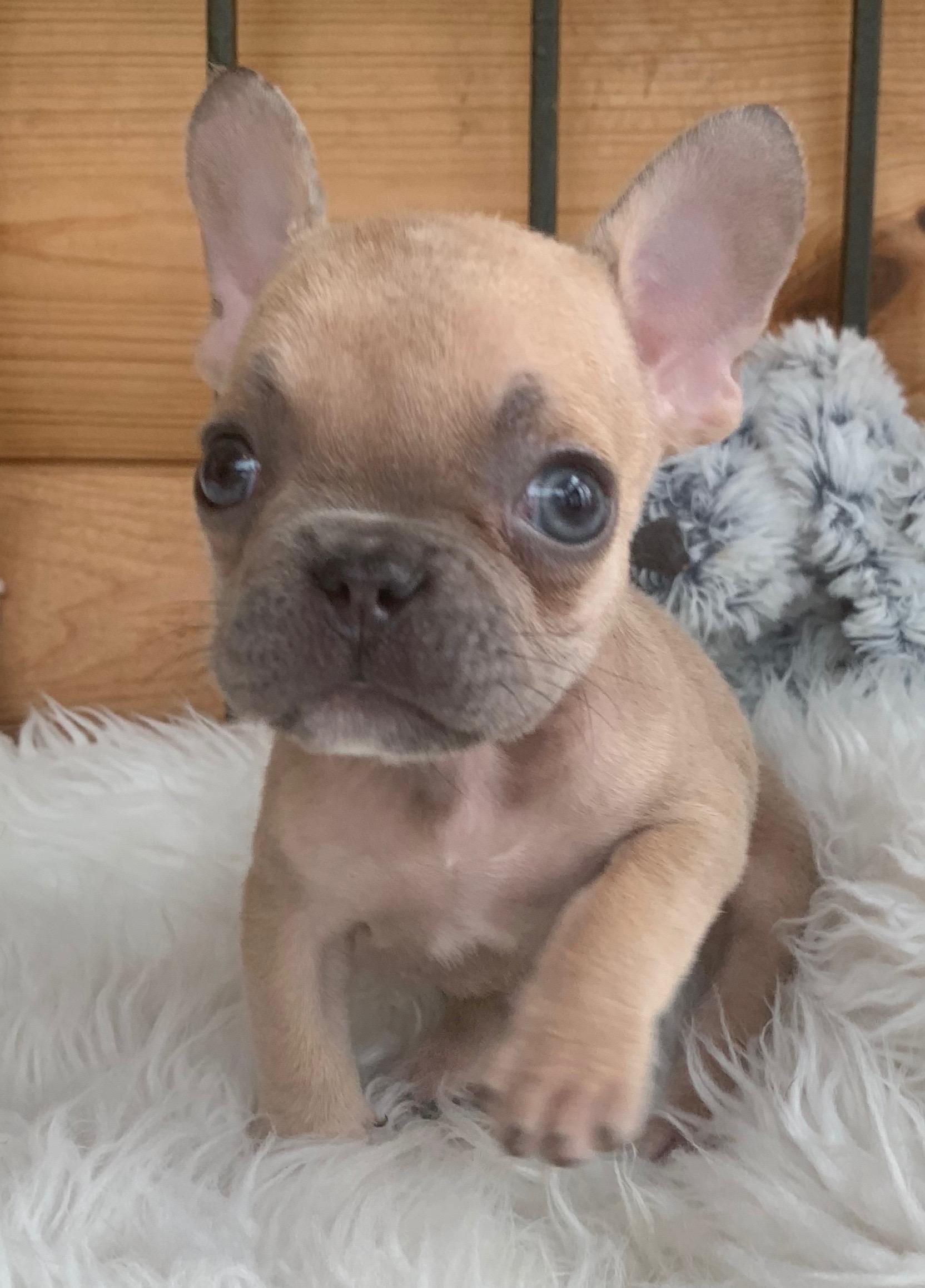 Lilac Fawn French Bulldog Male: Kingsley