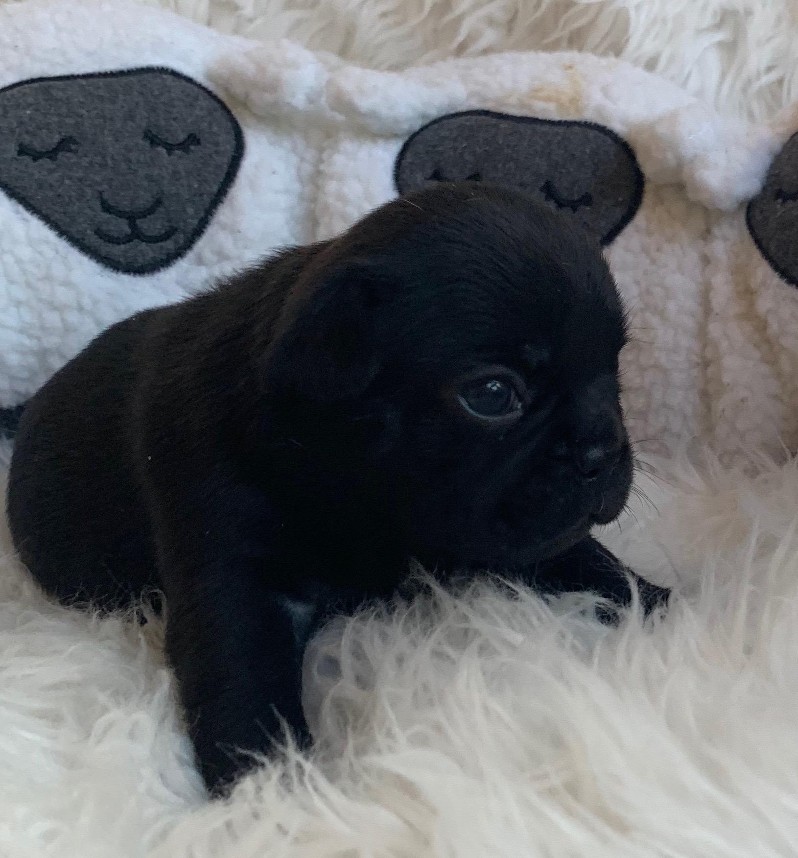 Brindle Female French Bulldog: Pearl