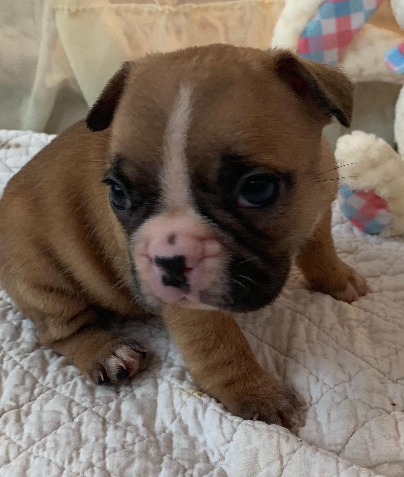 Fawn Female French Bulldog: Phoebe