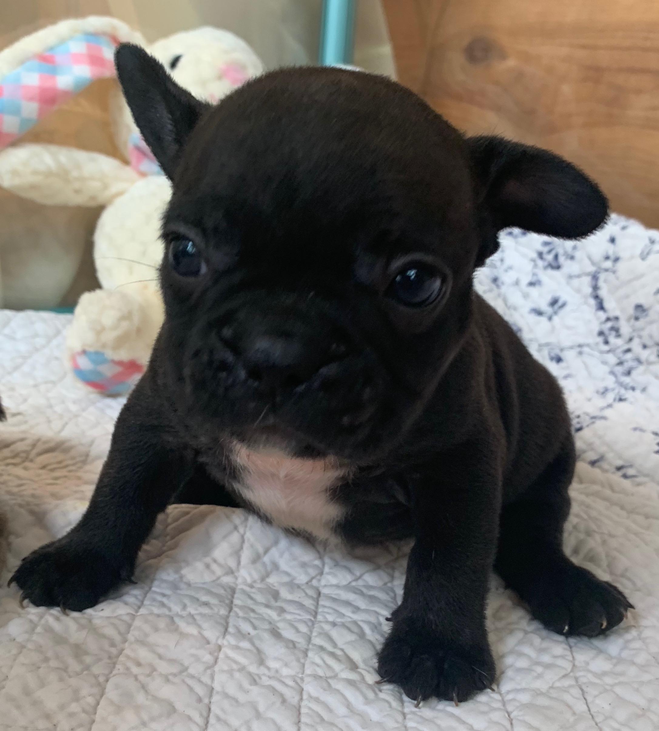 Brindle Male French Bulldog: Polo
