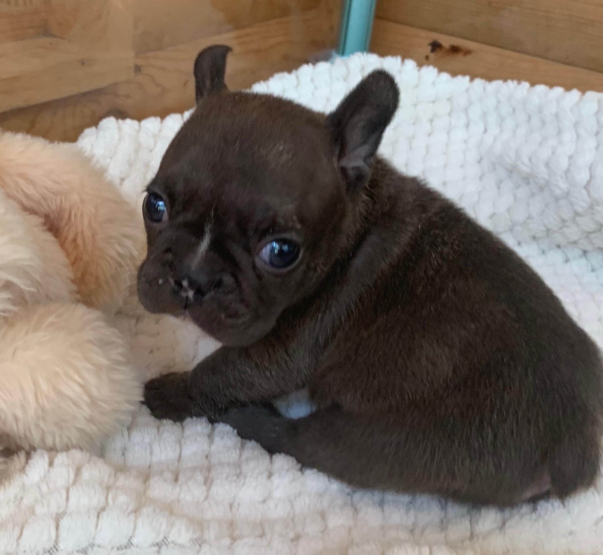 Chocolate French Bulldog Female: Riley