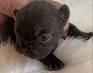 Litter of Chocolate French Bulldog Puppies