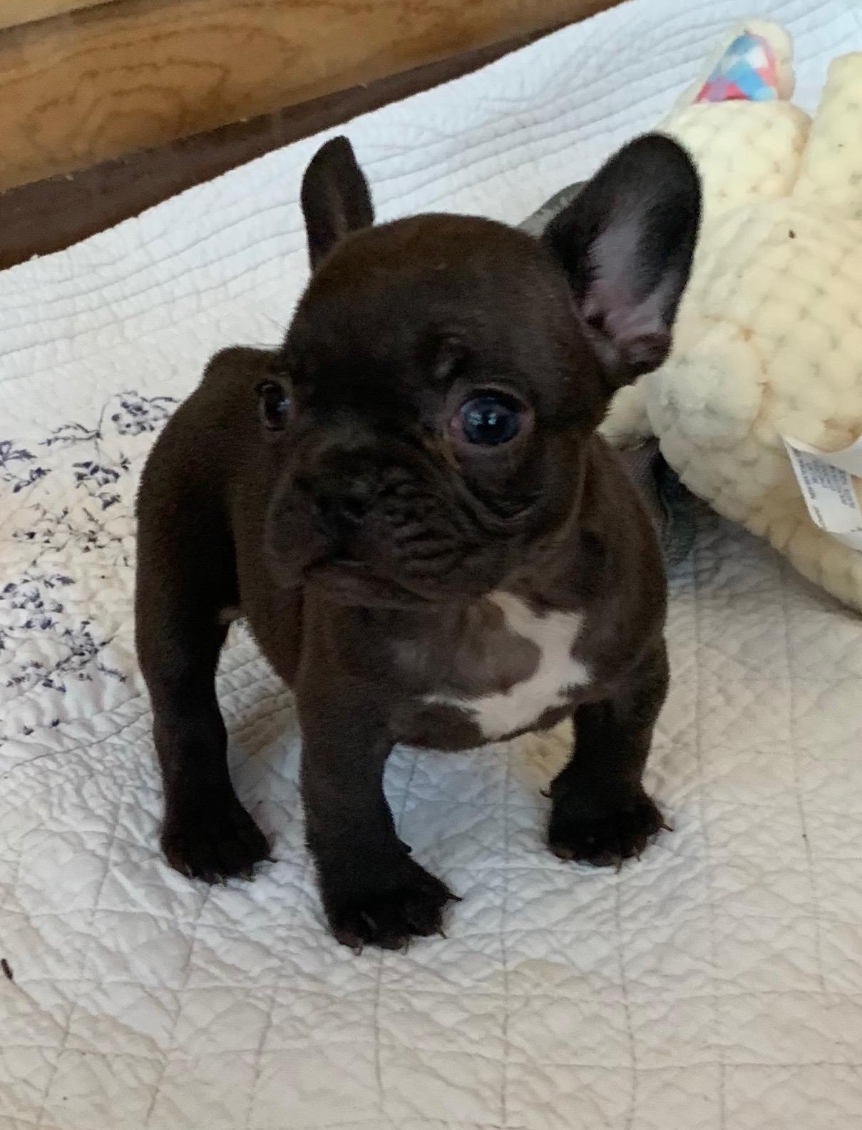 Chocolate Female French Bulldog: Raegan
