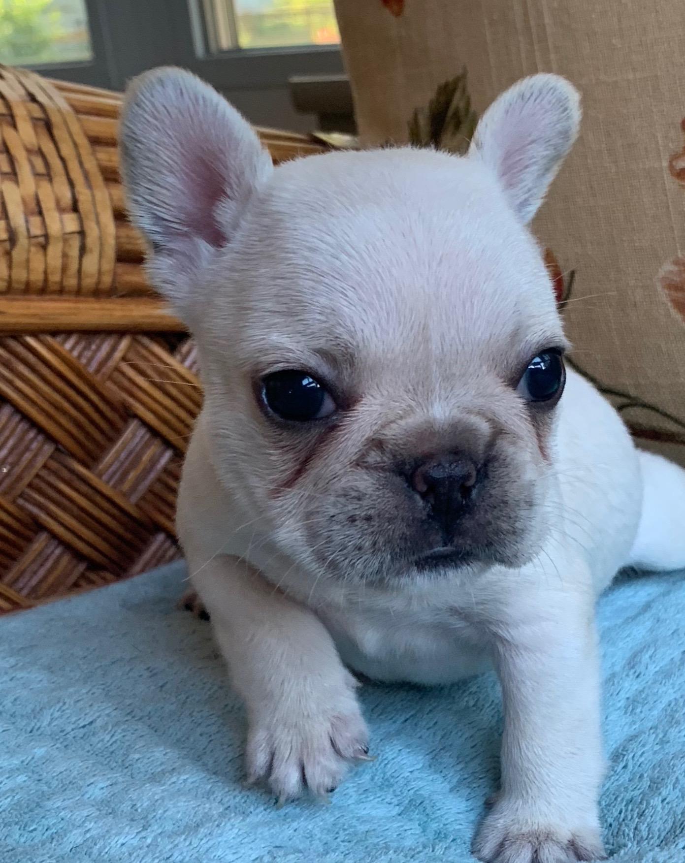 Cream French Bulldog Female: Vera