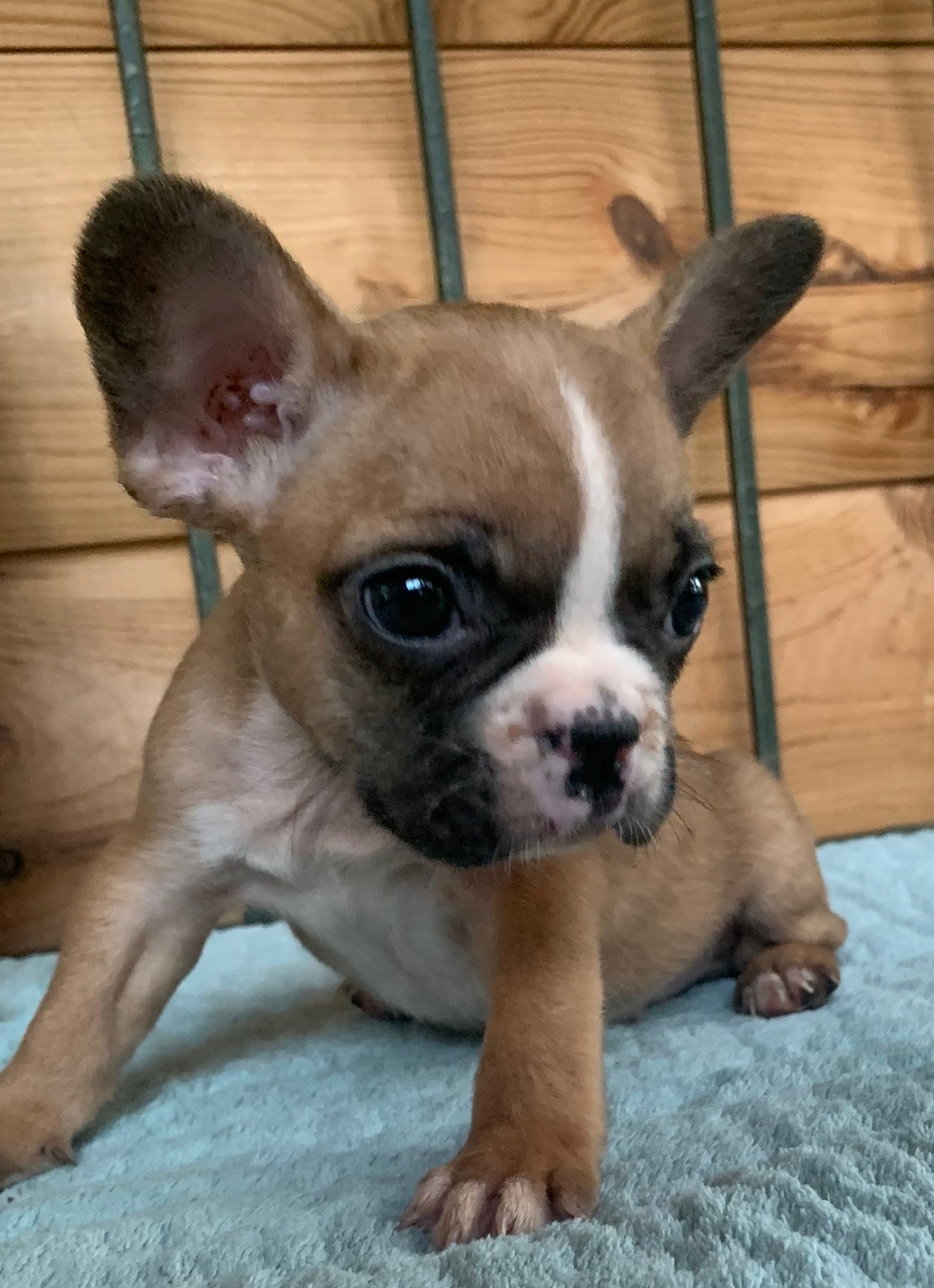 French bulldog puppies in Colorado and Missouri. Within driving distance to Memphis, New Mexico, Louisianna, and Texas. This is Polo