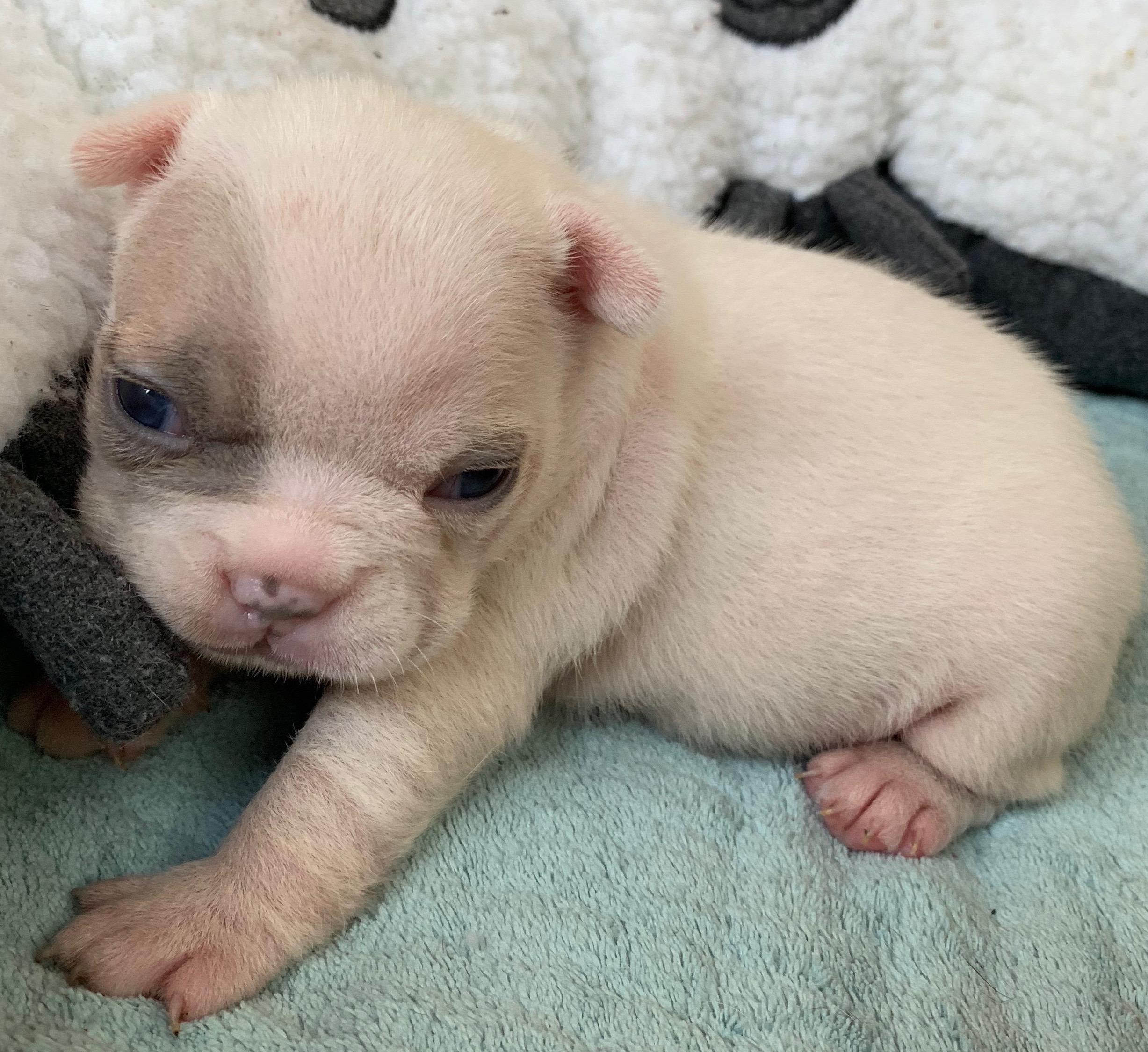 Lilac Fawn Pied Female French Bulldog: Willow