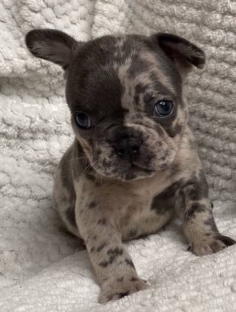 Blue Merle Male French Bulldog: Ulysses
