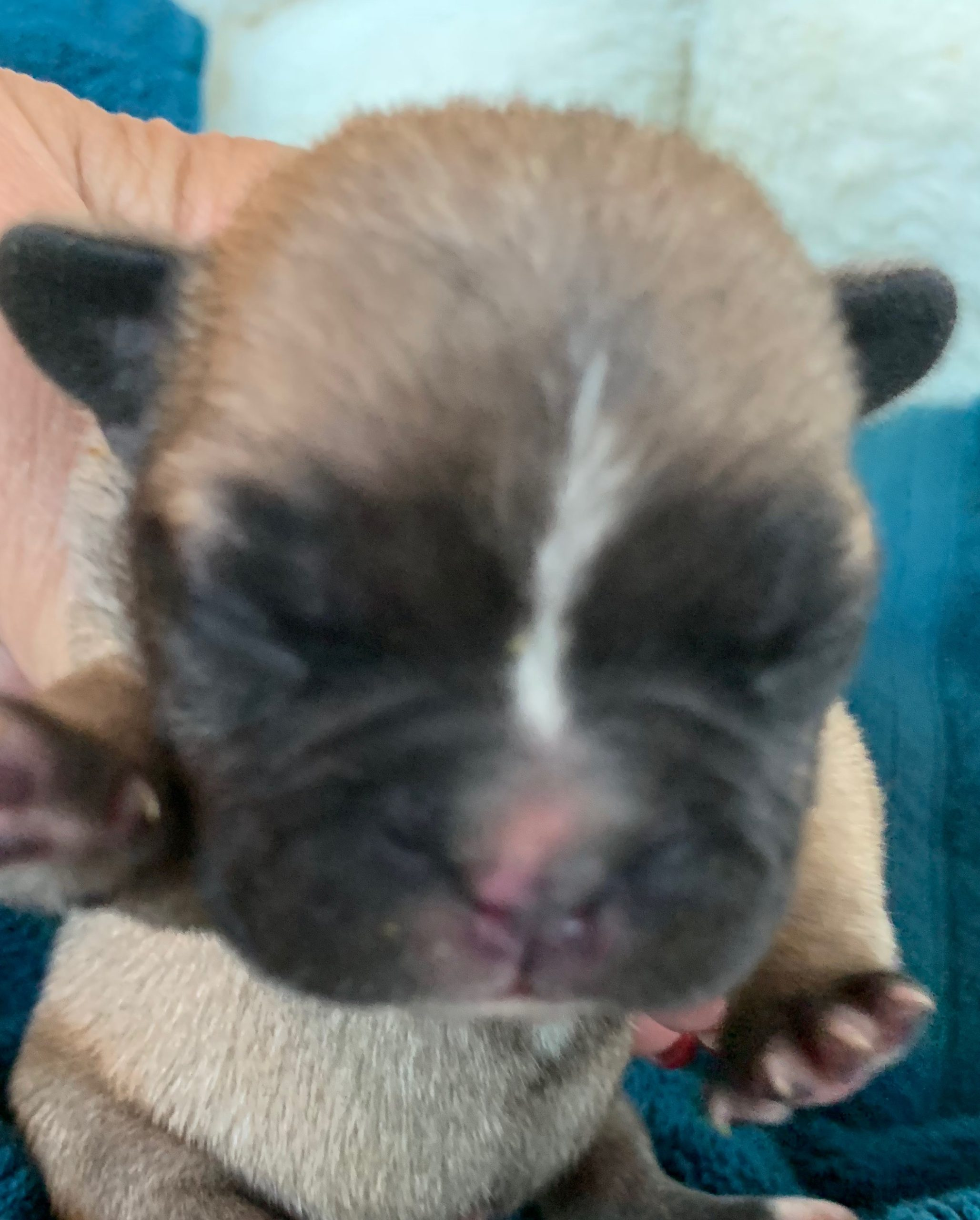 Fawn & Pied French Bulldog Puppies-Champion Sired