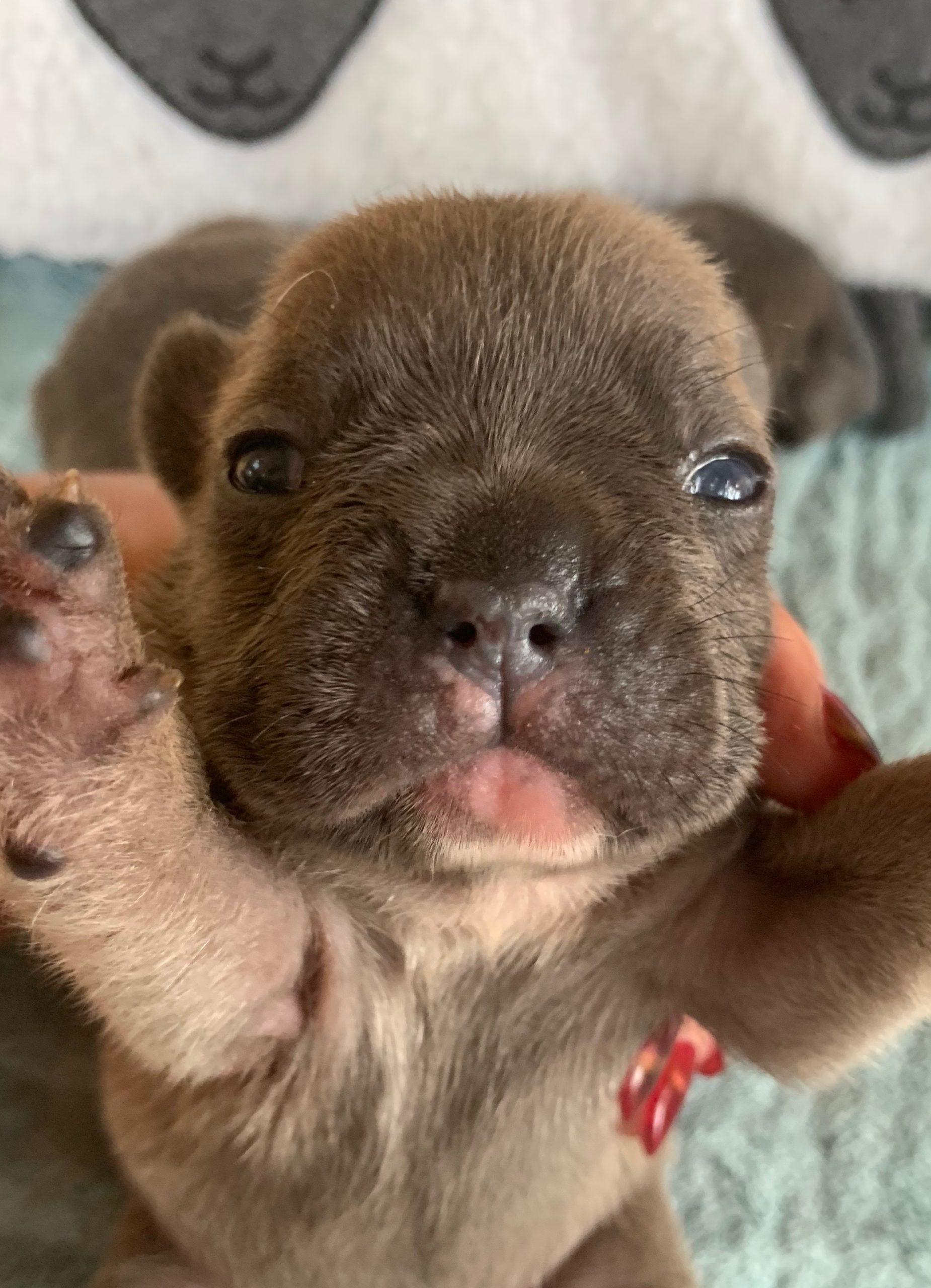 Blue French Bulldog Puppies: 6/22/20
