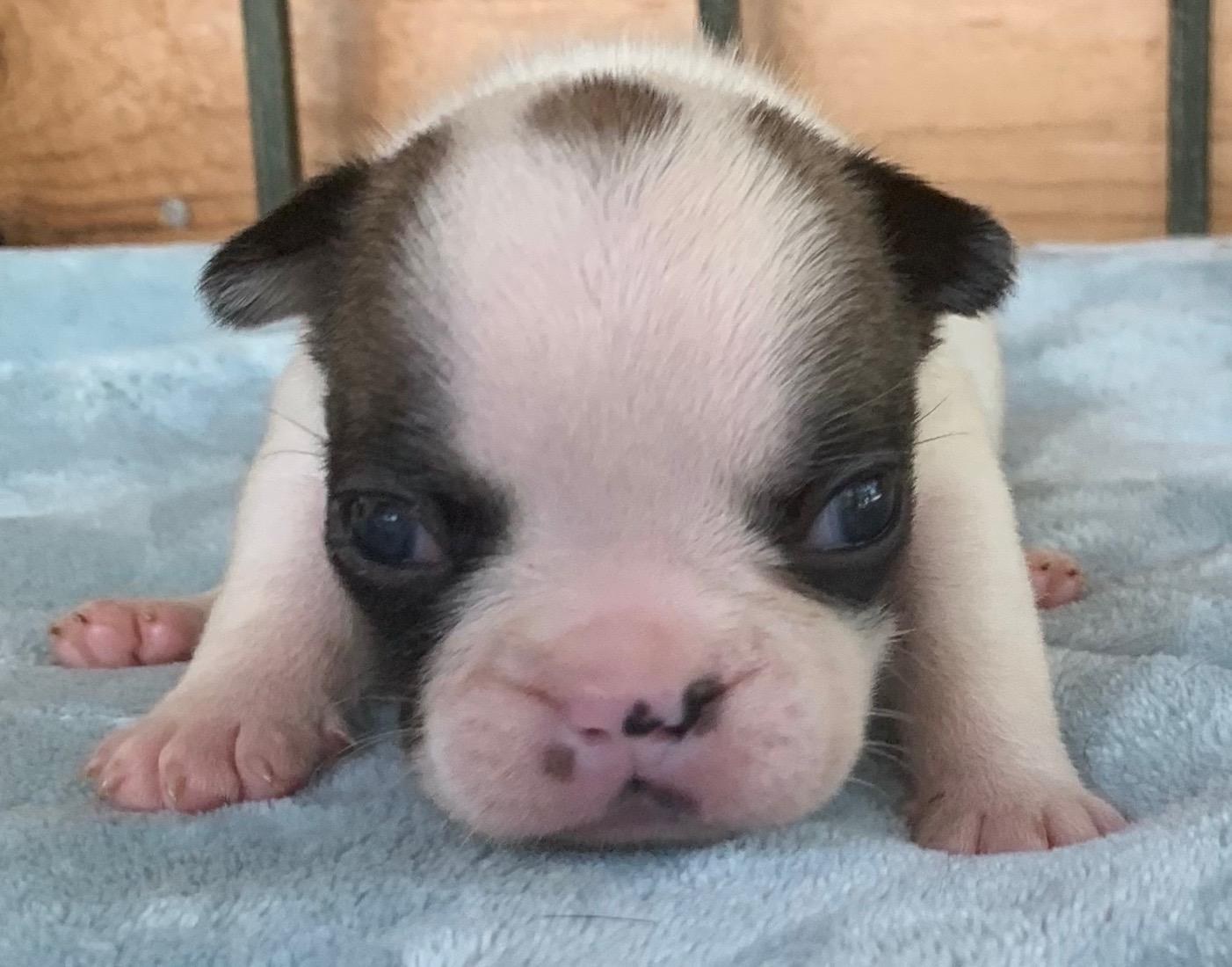 Fawn Pied Female French Bulldog: Daphne