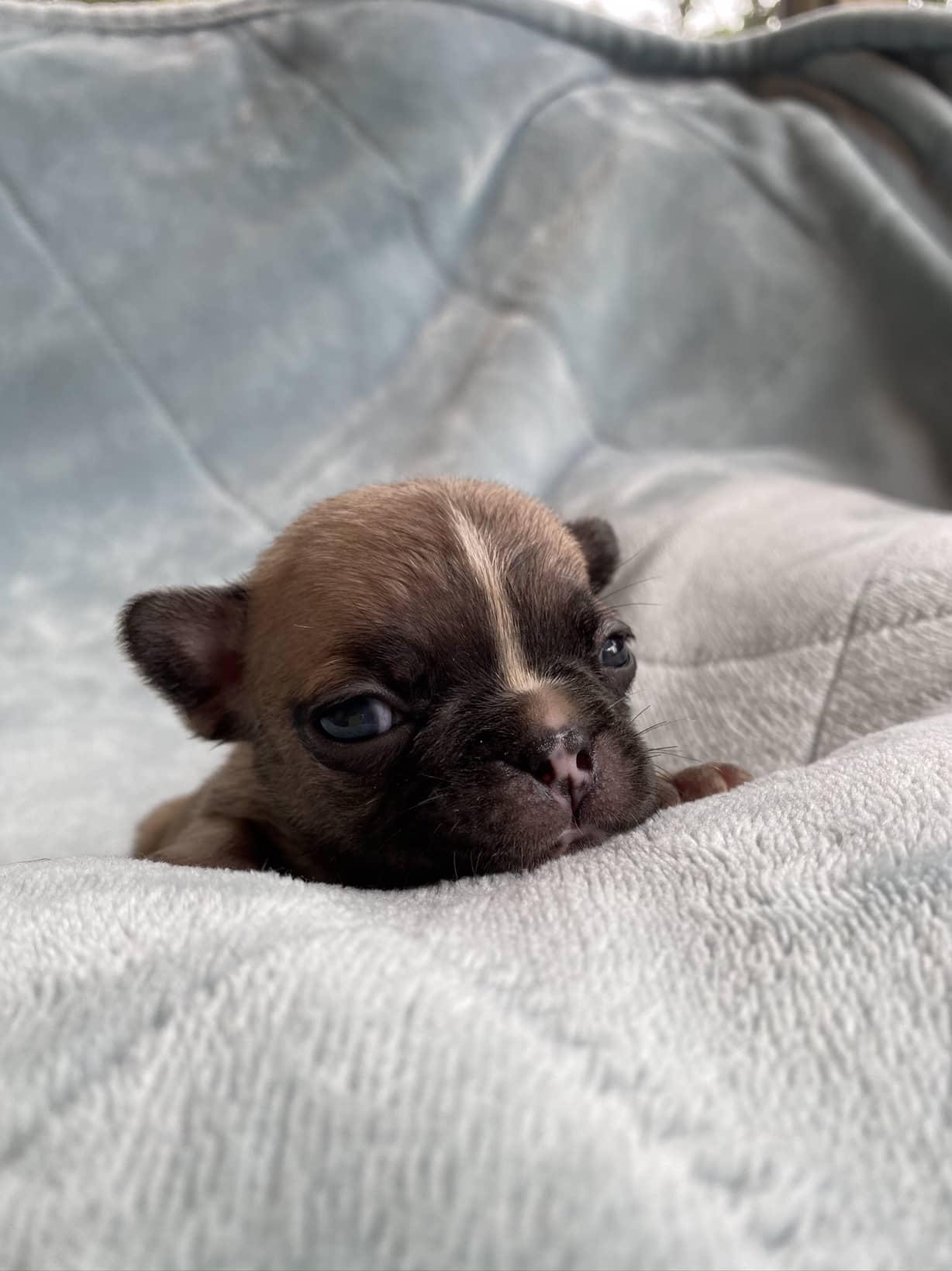 Fawn Male French Bulldog: Damper