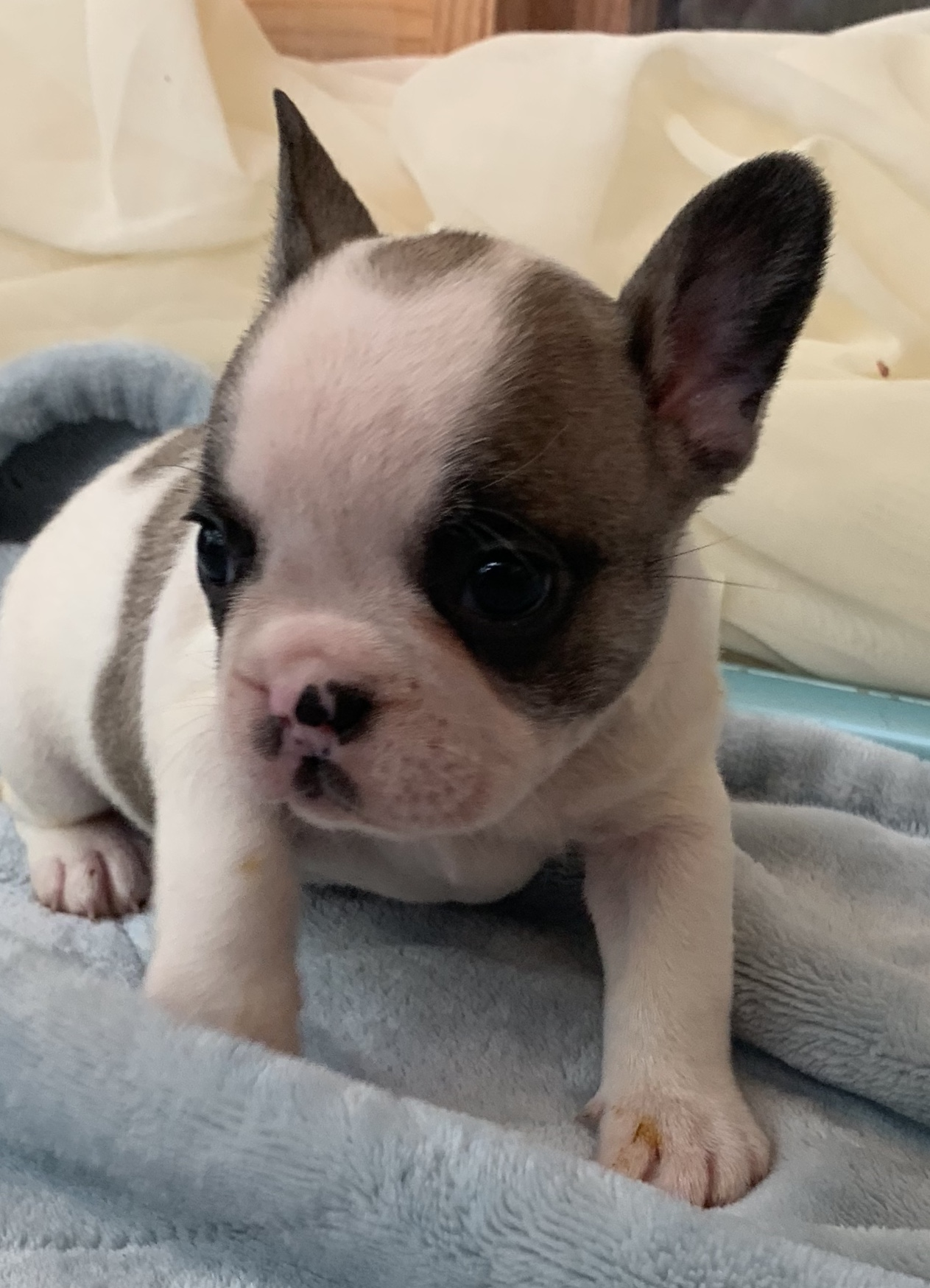 Pied French bulldog puppies in Colorado and Missouri. Within driving distance to Memphis, Louisiana, Illinois, Arkansas, New Mexico, and Texas. Can ship to New York, Alabama, Georgia. This is Margarita's litter. This is Dixon.
