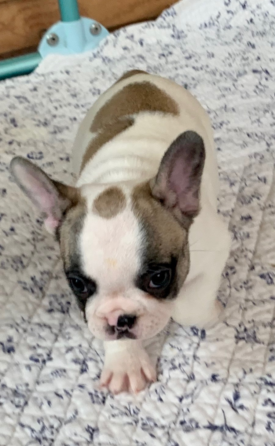 Pied Female French Bulldog: Daphne
