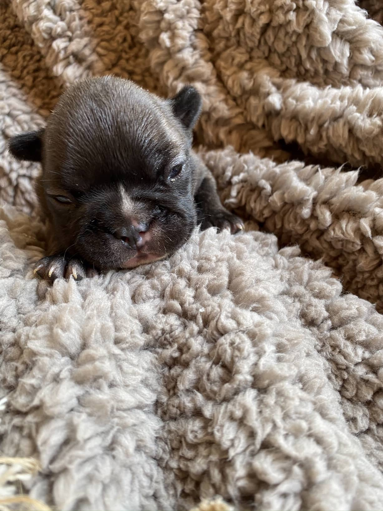 Upcoming Champion Sired Standard French Bulldog Litter: August 6, 2020