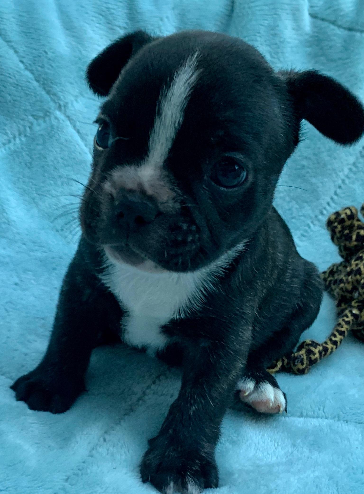Brindle Female French Bulldog: Nena