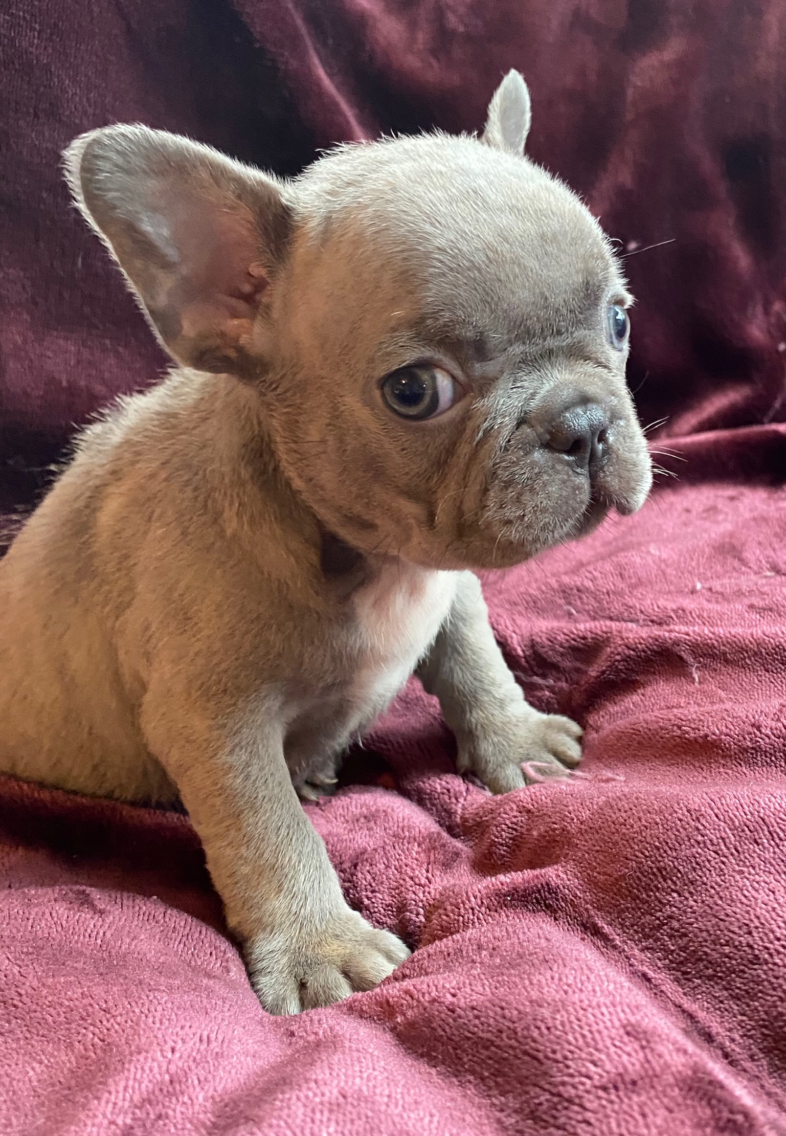 Lilac Female French Bulldog: Hallie-5444-SOLD