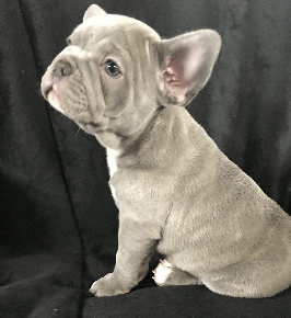 Lilac Male French Bulldog: Moose-SOLD