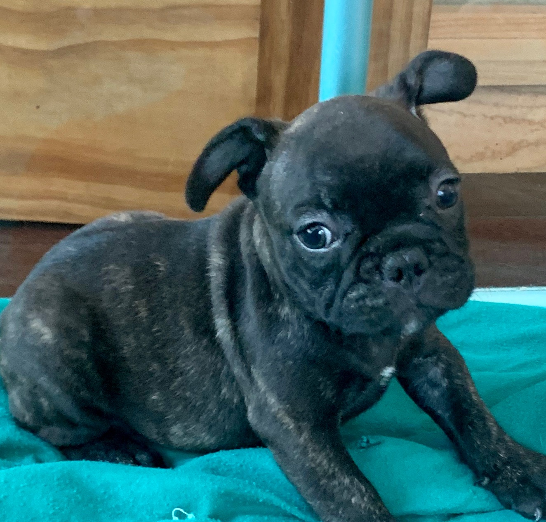 Brindle Male French Bulldog: Ninja