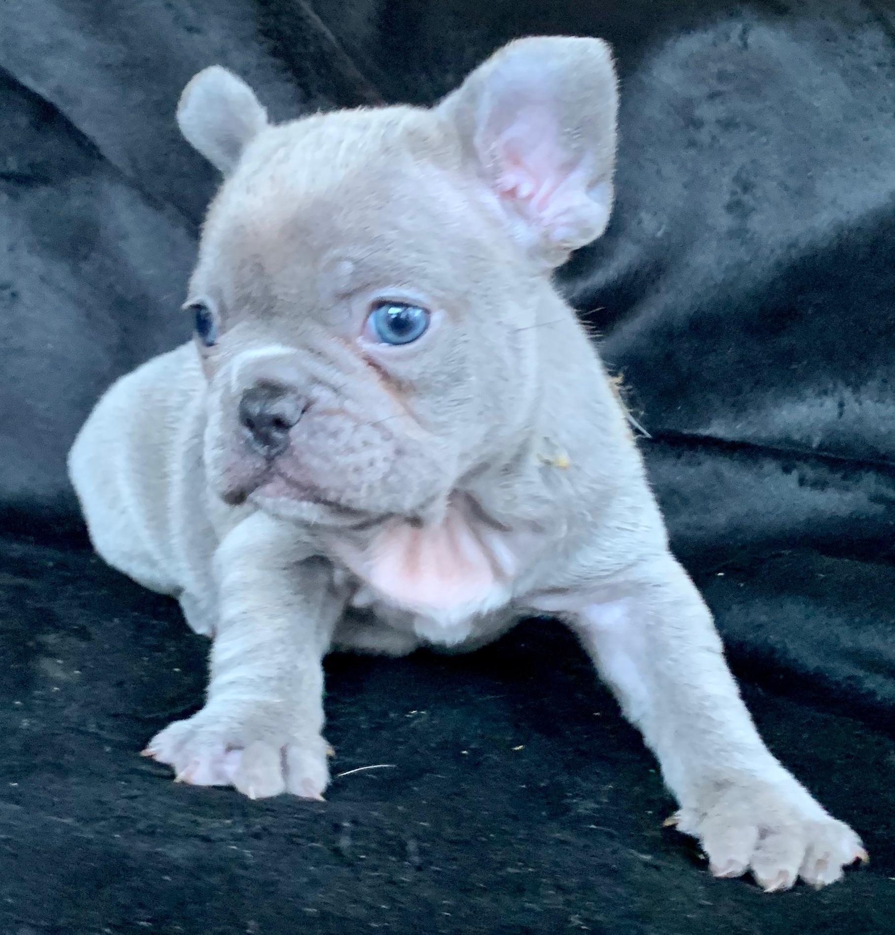 Lilac Female French Bulldog: Quartney- 2293