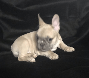 Lilac Fawn Female French Bulldog: Muffin