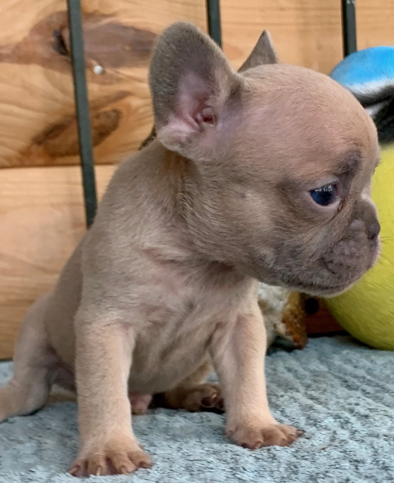 Lilac Fawn Male French Bulldog: Sunny- 1775- Sold