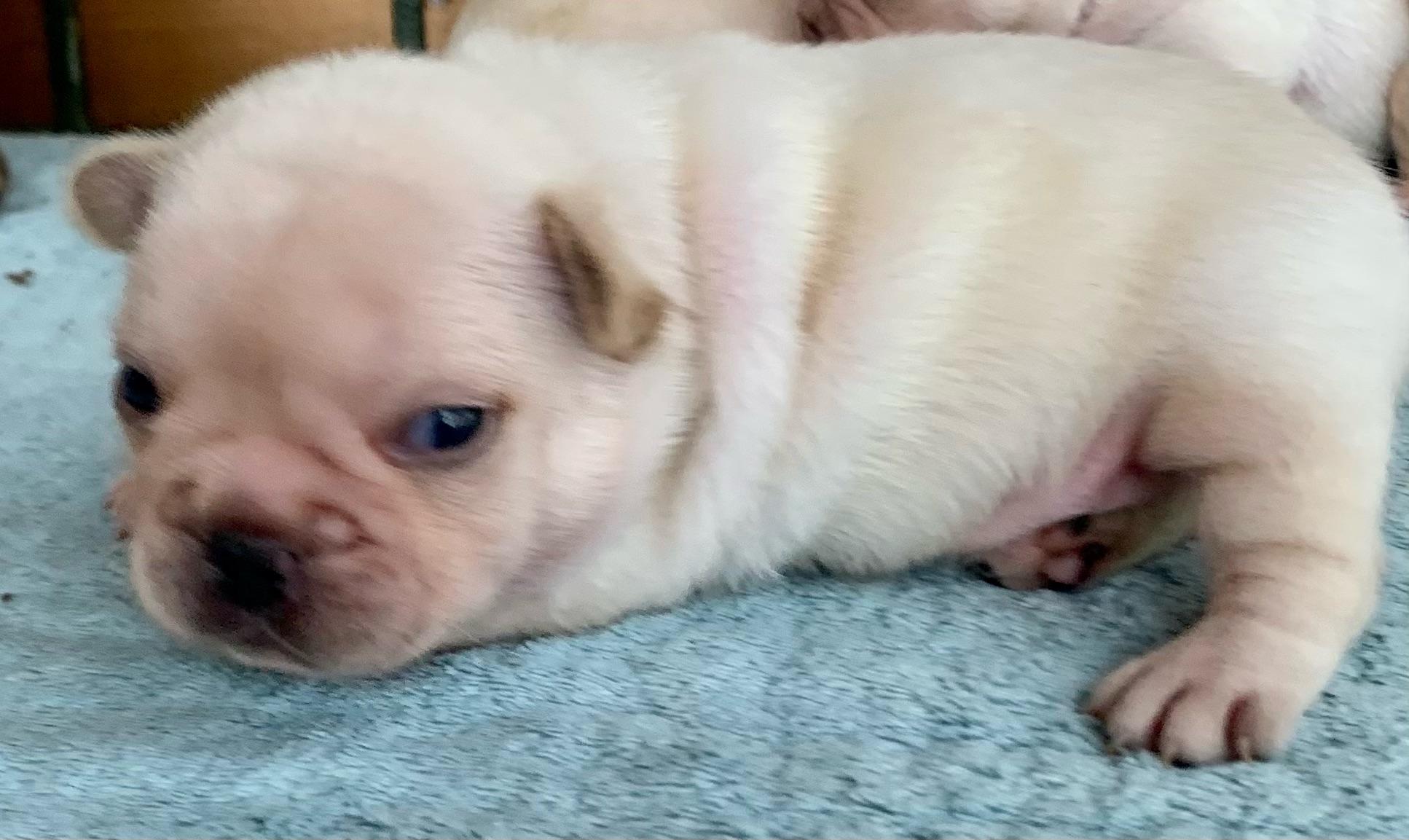 Cream Female French Bulldog: Yuna- 2270
