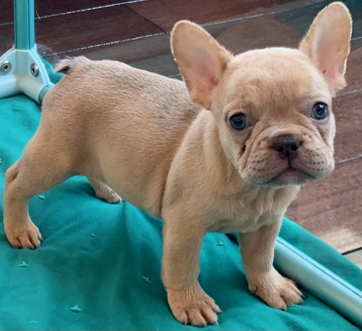 Lilac Fawn Female French Bulldog: Quinci- 1981-Available