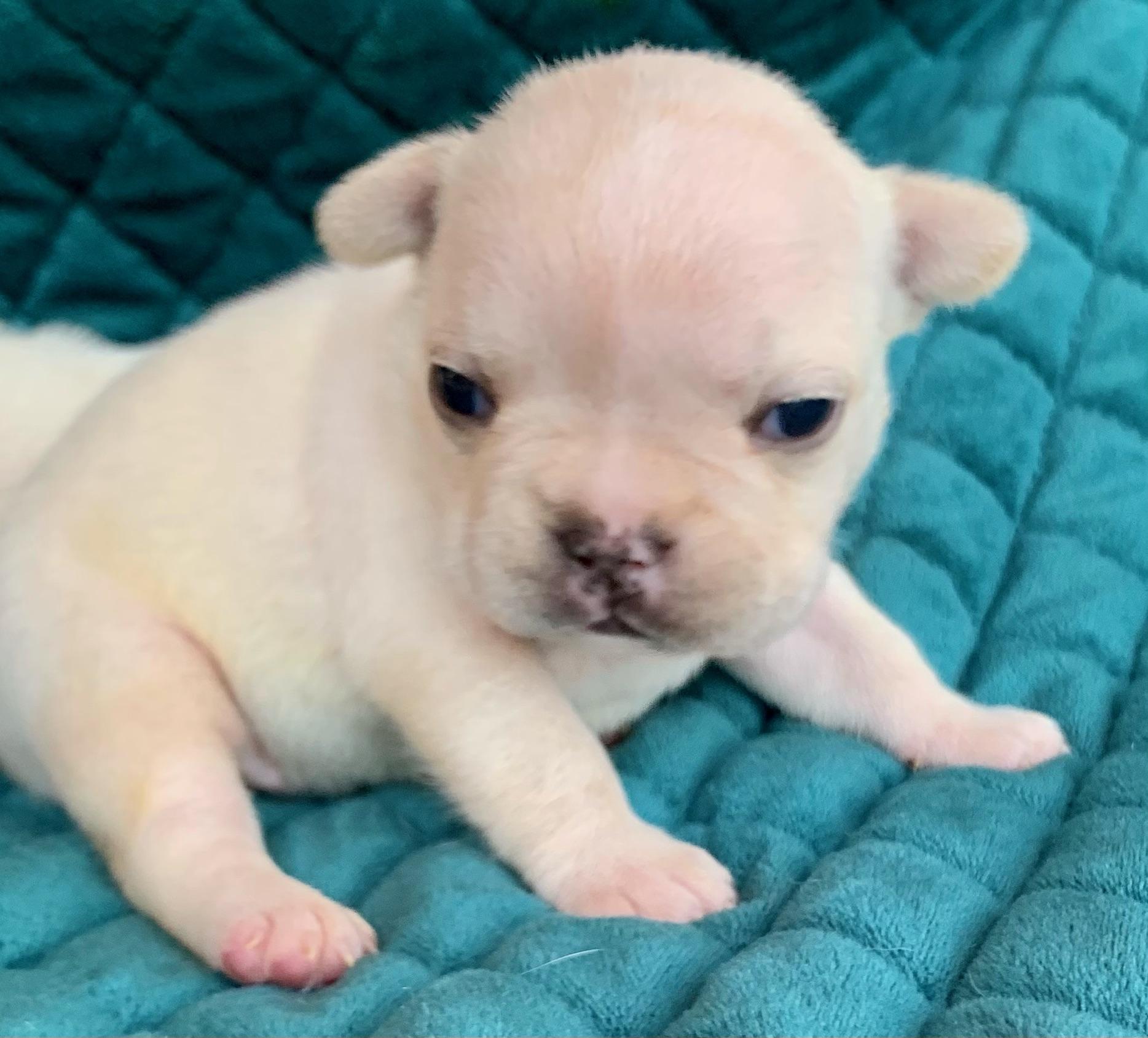 Cream French Bulldog Litter: October 30, 2020