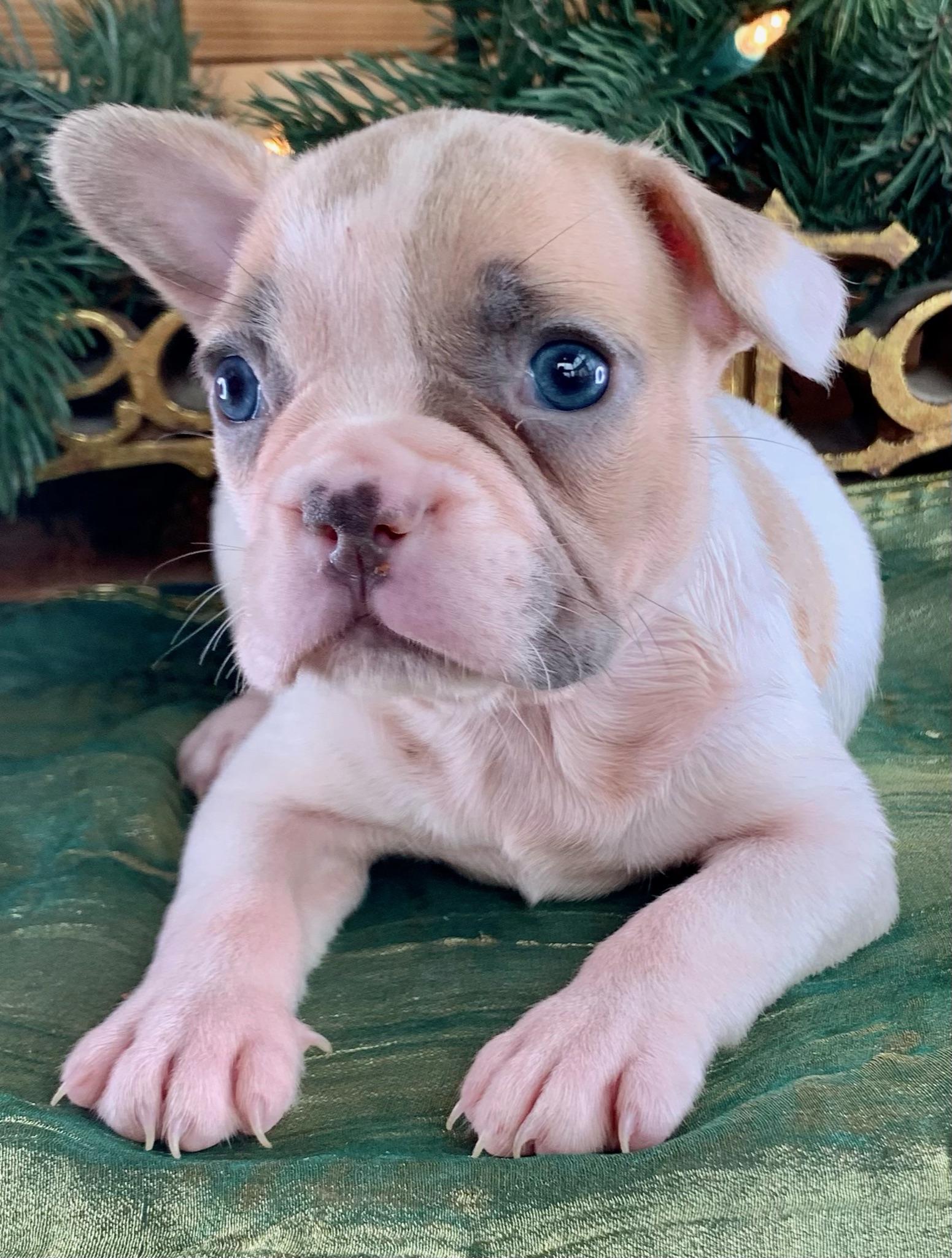 Lilac Fawn Pied Female French Bulldog: Tator-Tot