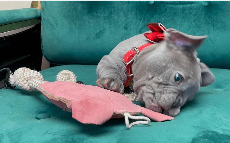Lilac Female French Bulldog: Polly-2584