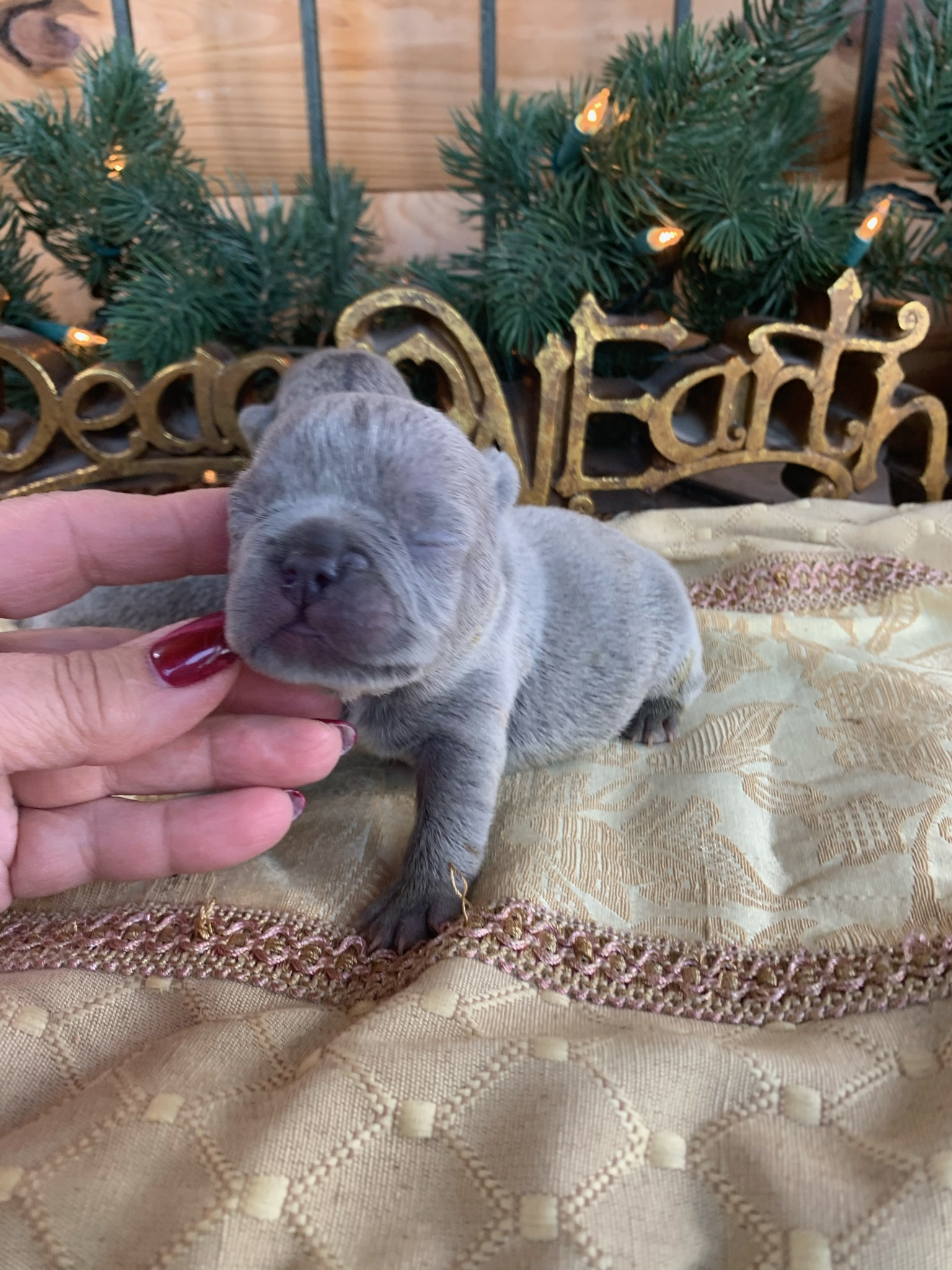 Litter of Lilac French Bulldog Puppies